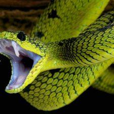 drøm om slanger
