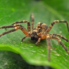 drømmer om edderkopper
