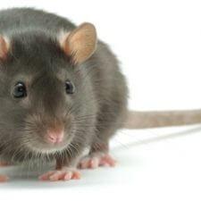 hvad betyder at have rotter på loftet