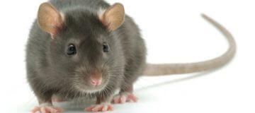 drømme om mus