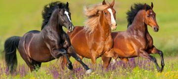 drømmetydning hest - drømme om heste - hest i drøm