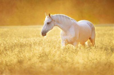 drømmetydning hvid hest sort hest drøm
