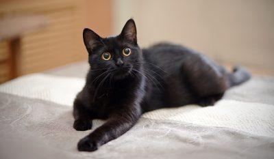 drømmetydning kat drømme om katte betydning - sort kat hvid kat drøm